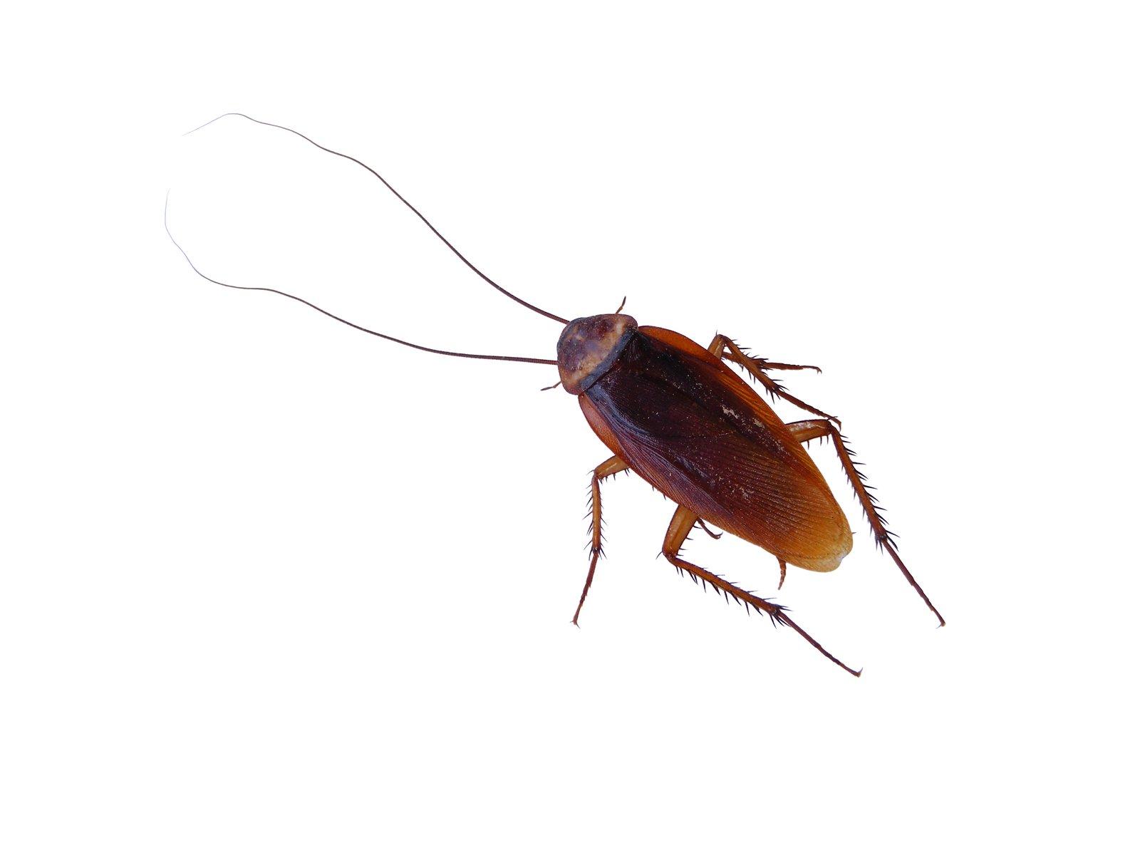 Pourquoi j'ai des blattes dans la maison?
